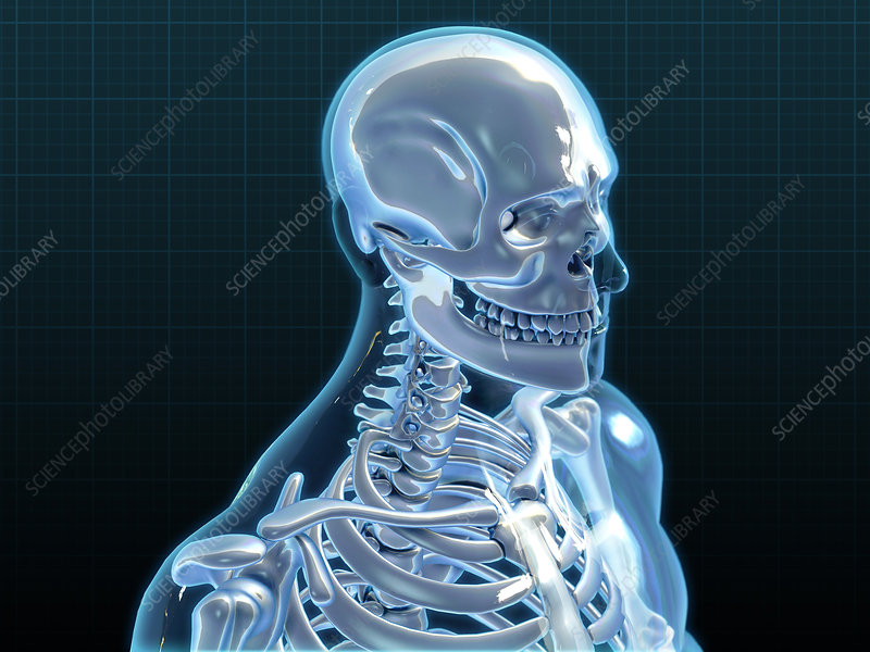 Human Skeleton, artwork, Illustration