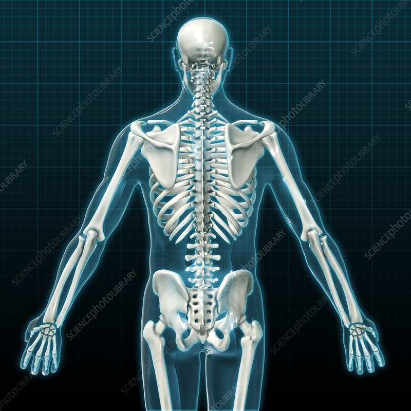 Human Skeleton, Illustration