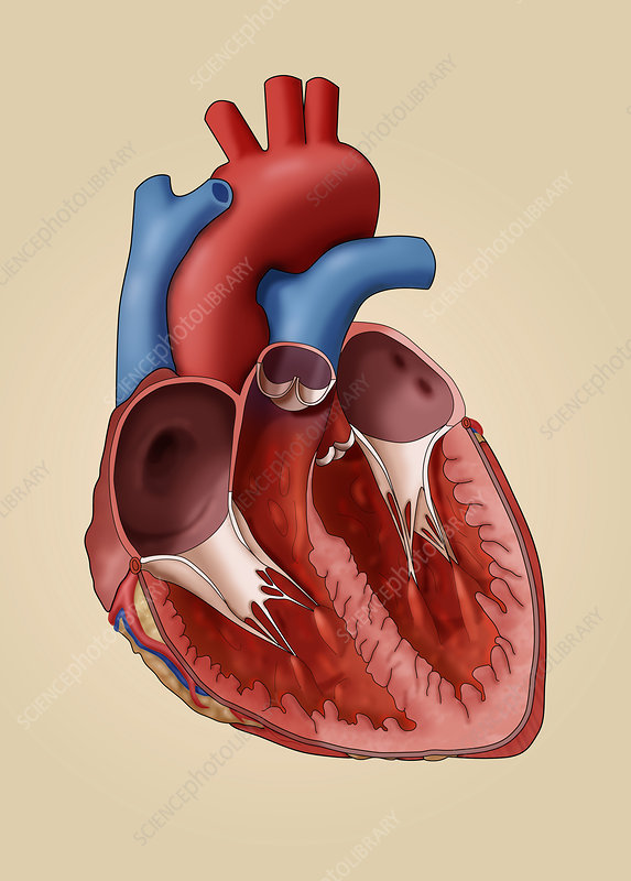 Anatomy of the Human Heart, Illustration