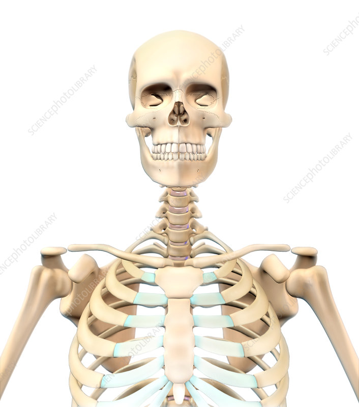 Human Skeleton Upper Body Illustration Stock Image C0277160