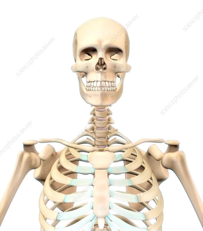 human skeleton, upper body, illustration - stock image c027/7160, Skeleton