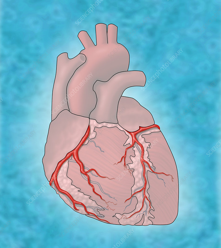 Coronary Arteries, Illustration