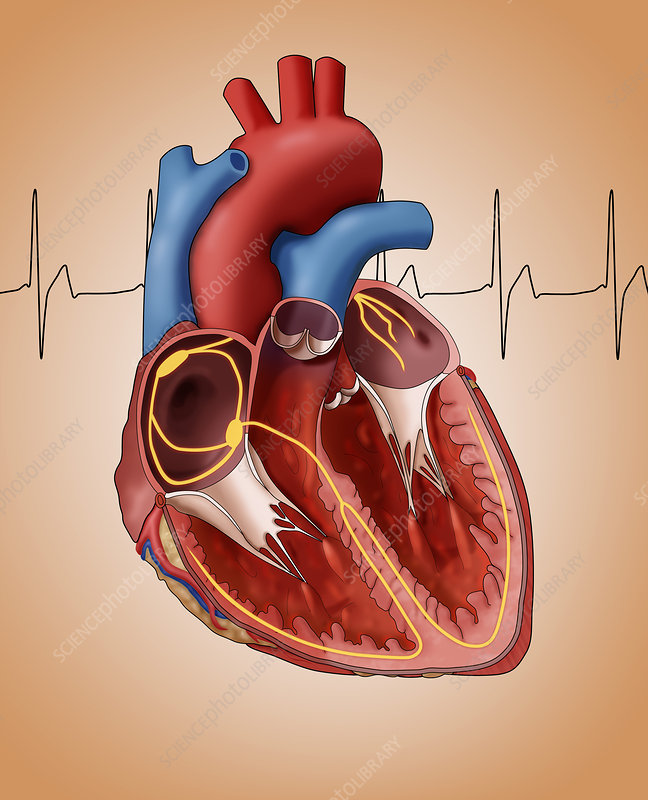 Heart's Electrical System, Illustration - Stock Image ...