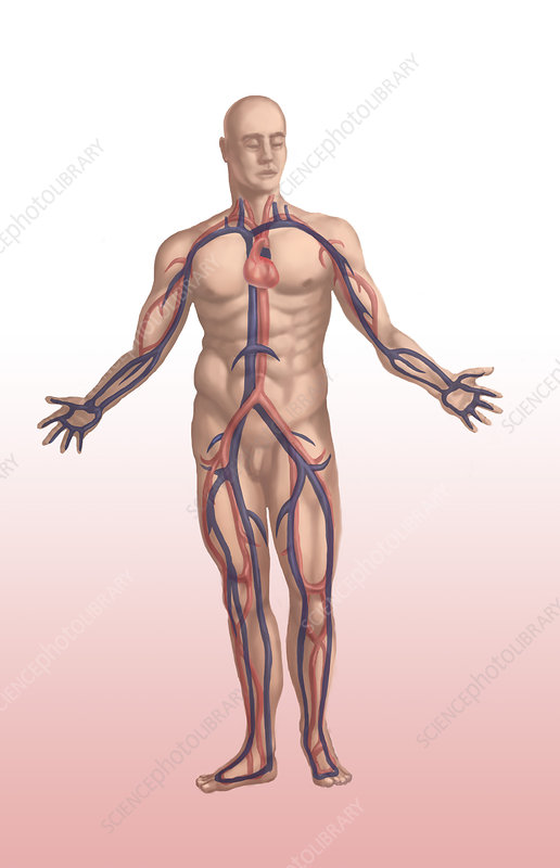 Cardiovascular System, Male, Illustration