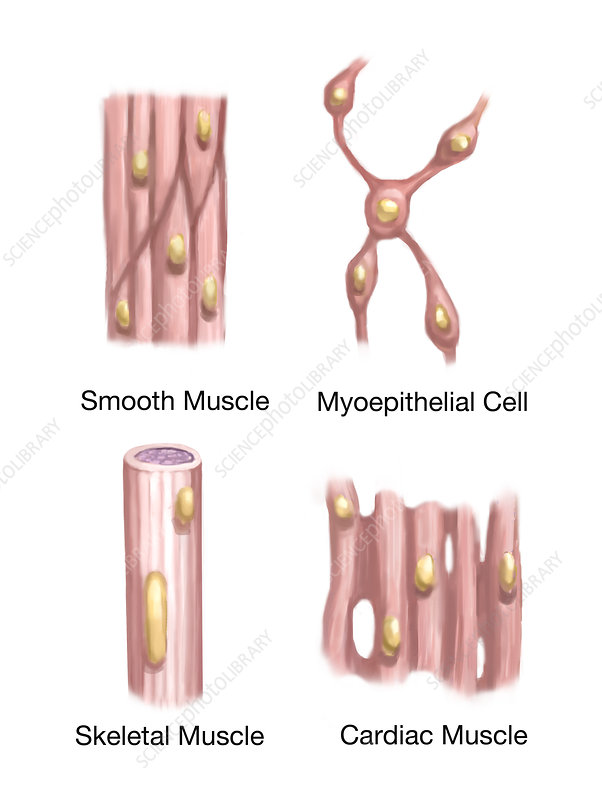 Muscle Tissues, Illustration