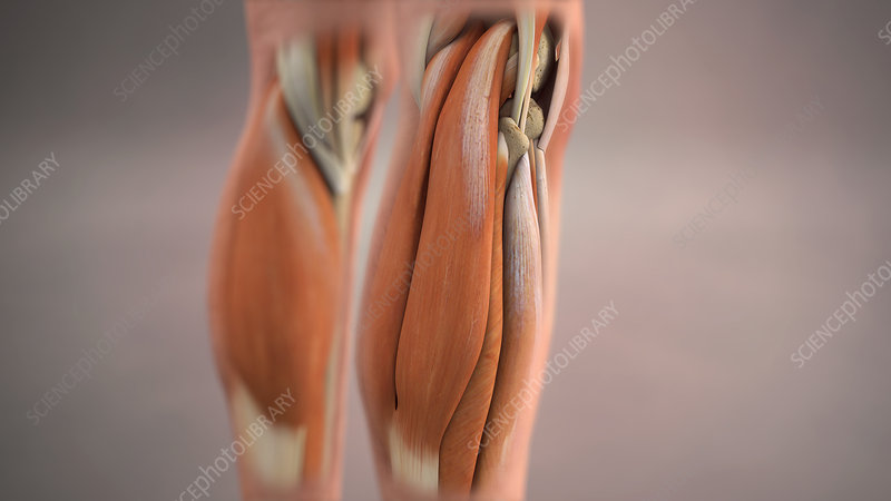 Calf Muscles, Illustration