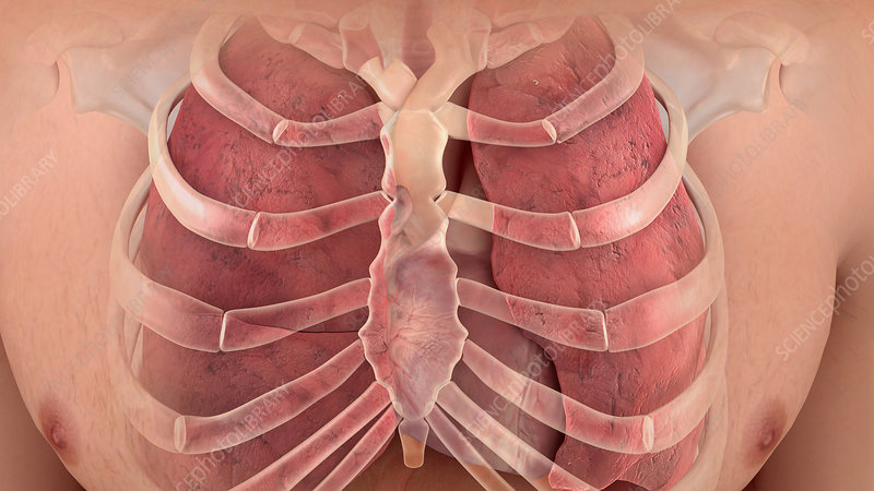 Rib Cage and Lungs, Illustration