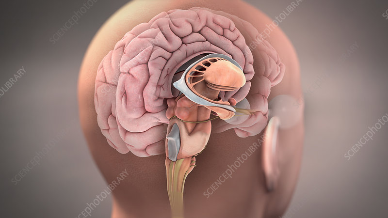 Brain, Sagittal Section, Illustration