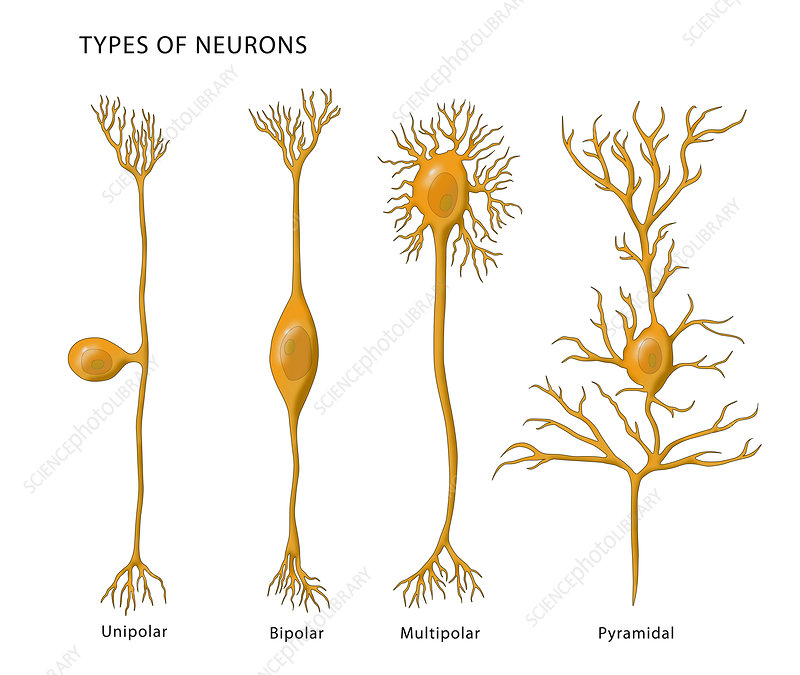 4 Types of Neurons, Illustration
