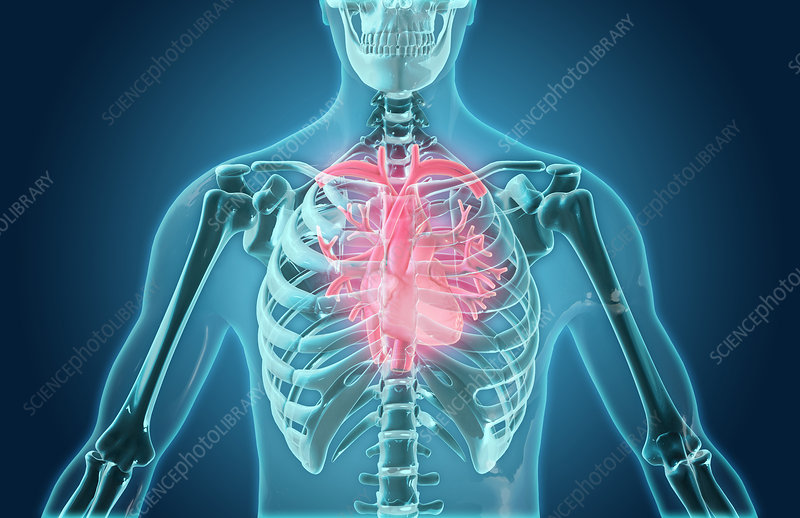 pic of human heart and lungs