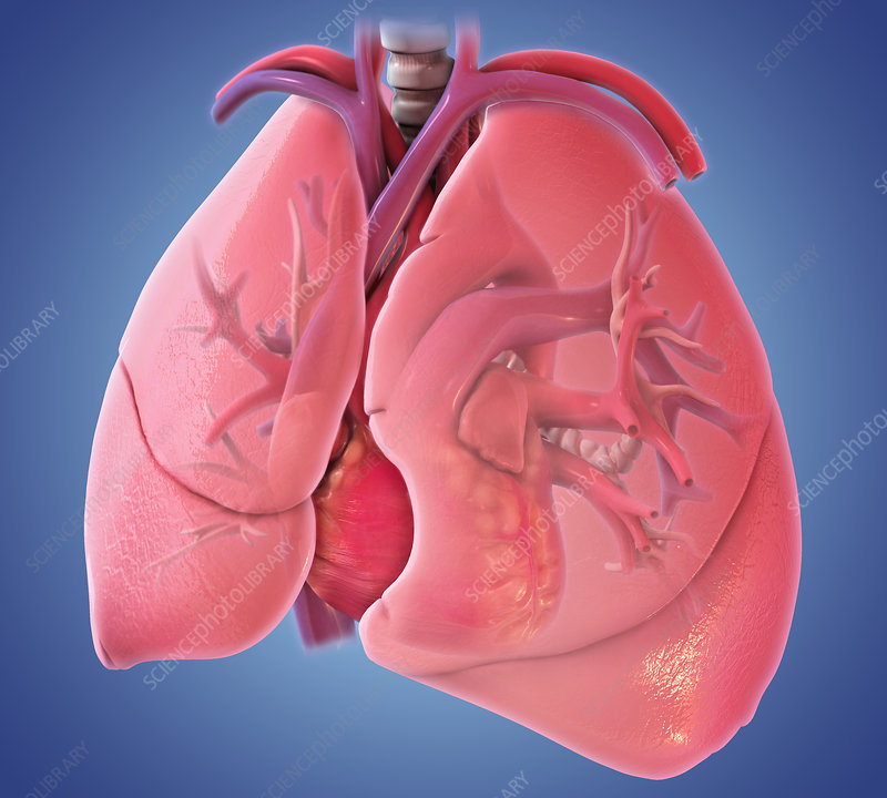 Heart and Lungs, Illustration