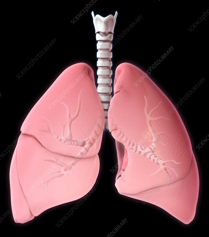 Lungs, Illustration