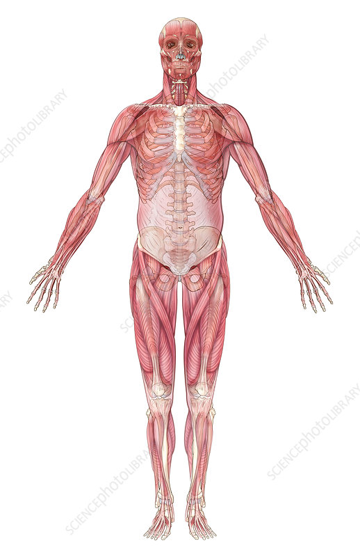Muscular System, Illustration