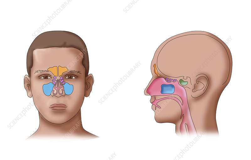 Paranasal Sinuses, Illustration