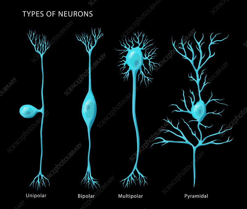 Types of Neurons, Illustration