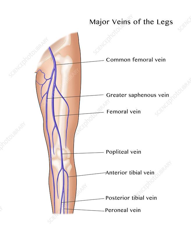 Major Veins of the Leg, Illustration - Stock Image C027/7570 ...