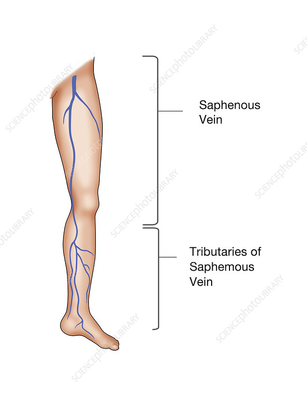 Saphenous Vein in the Leg, Illustration