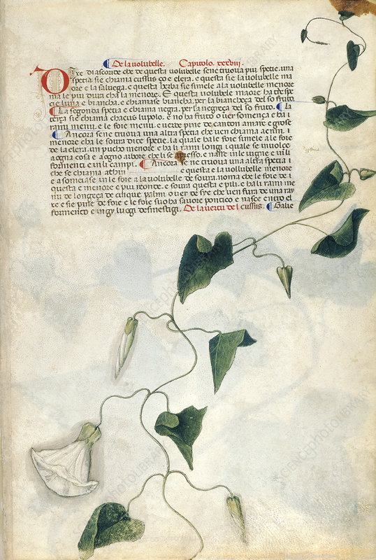 Bindweed (Convolvulus sp.), illustration