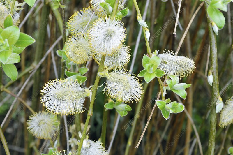 Goat willow (Salix caprea) flowers