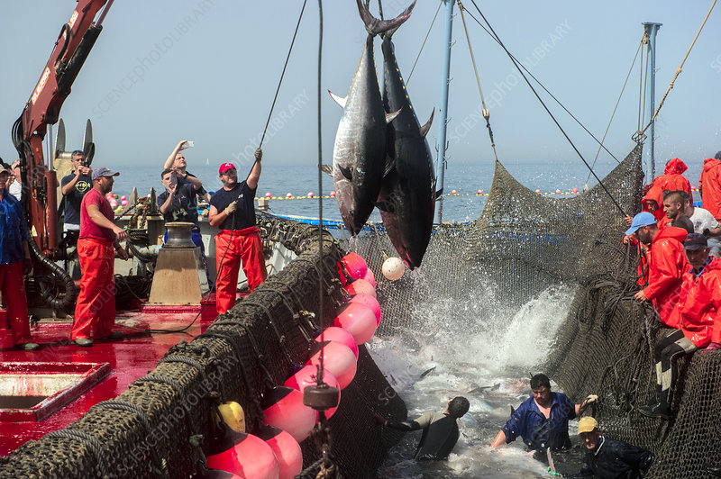 Almadraba tuna fishing, Spain