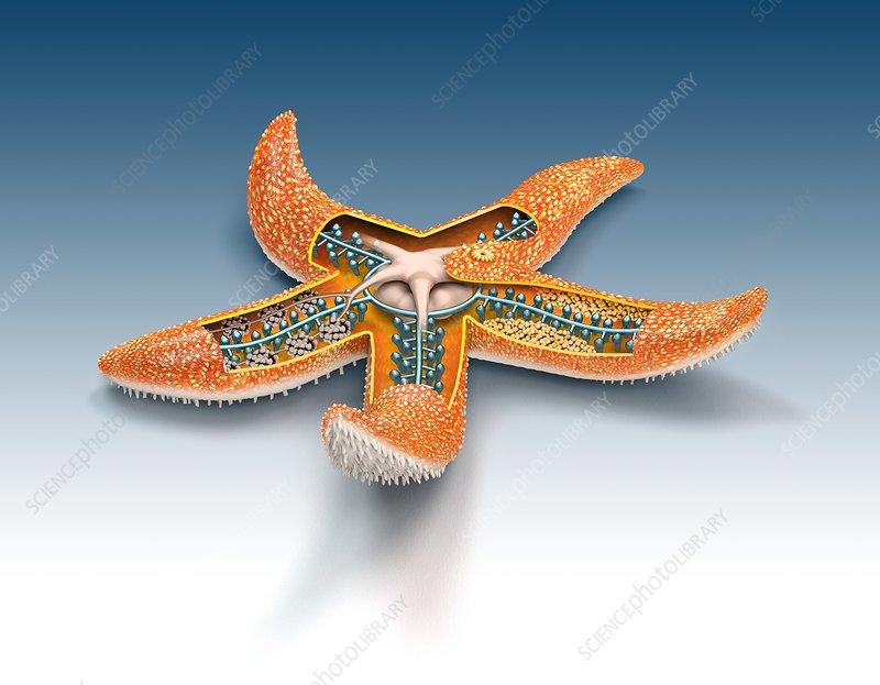 Starfish Anatomy Illustration Stock Image C0277800 Science