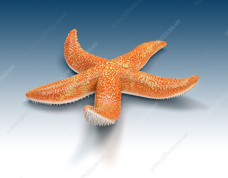 Starfish, illustration