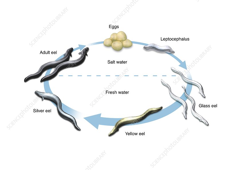 Eel life-cycle, illustration