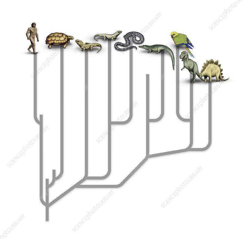 Animal family tree, illustration