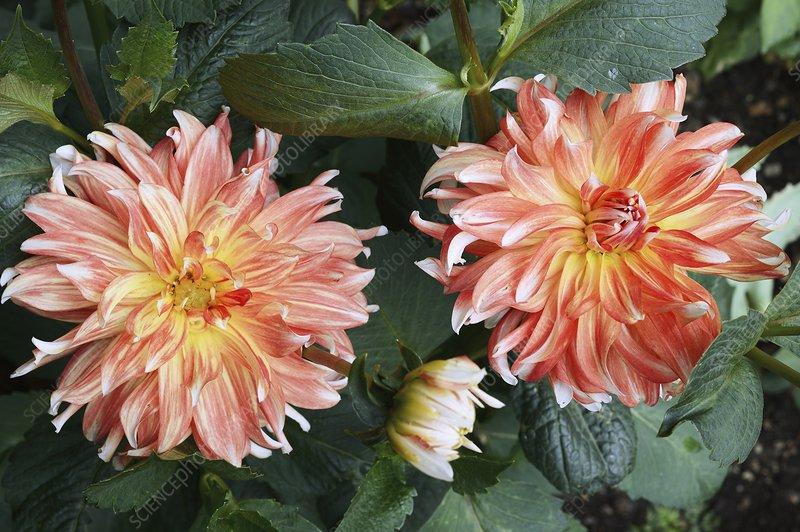 Dahlia 'Penny Lane' flowers