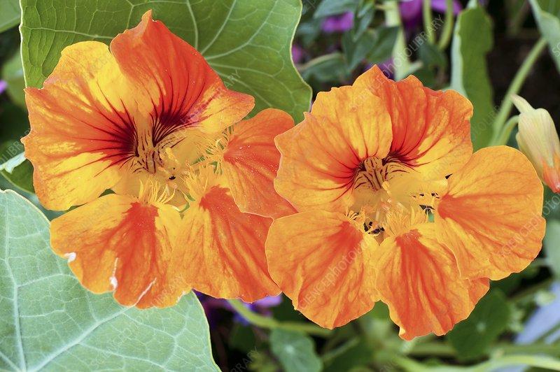 Nasturtium (Tropaeolum majus) flowers