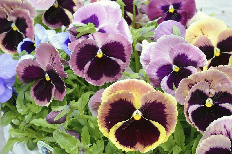 Viola 'Coastal Sunrise' flowers