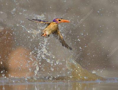 Pygmy Kingfisher taking a splash bath