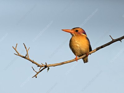 Pygmy Kingfisher perched on a branch