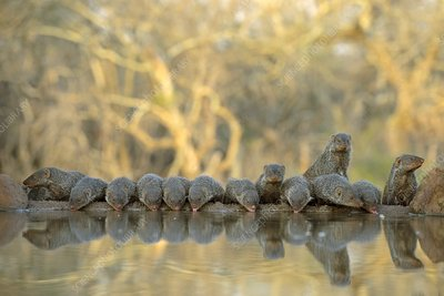 Colony of Banded Mongooses drinking