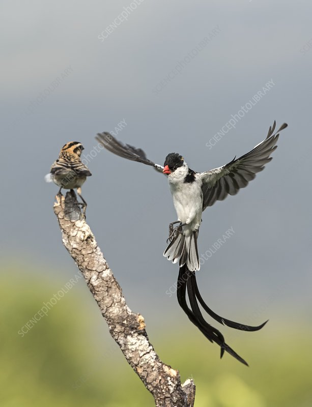 Male Pin-Tailed Whydah in mating display