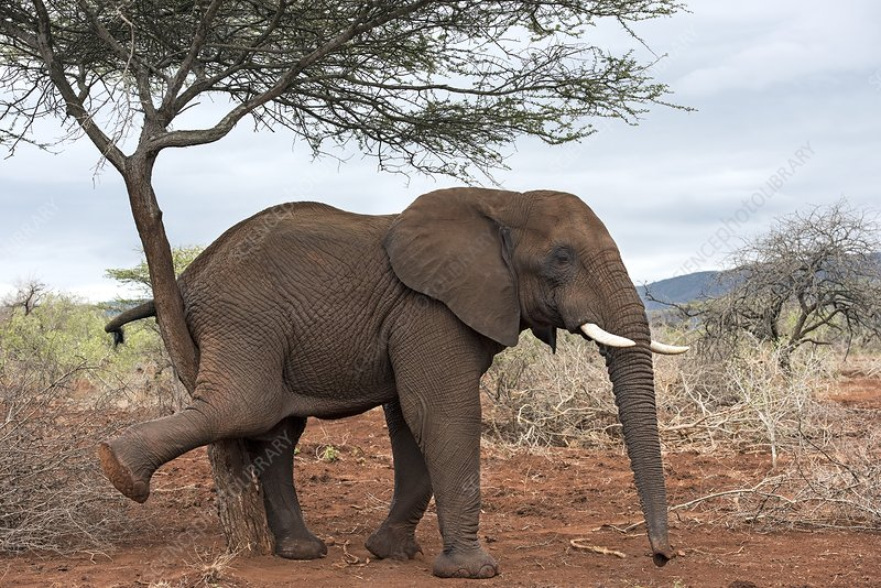 African Elephant Grooming