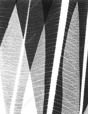 Oleander leaves, X-ray