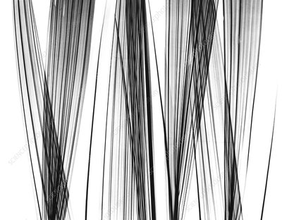 Lady palm fronds, X-ray