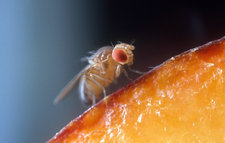Drosophila on Fruit