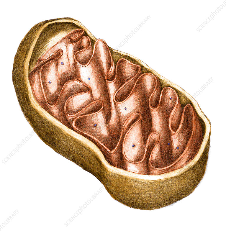 Mitochondria, illustration