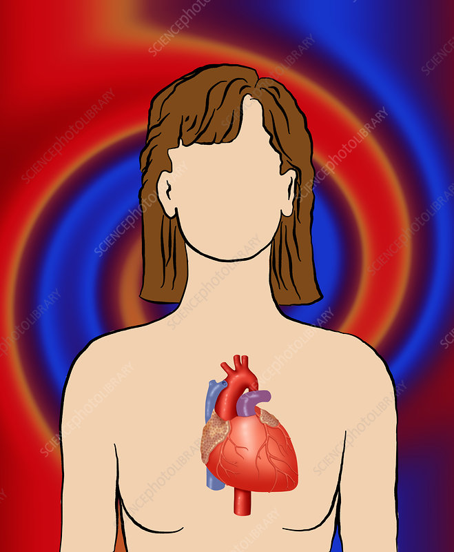 Position of the heart, illustration