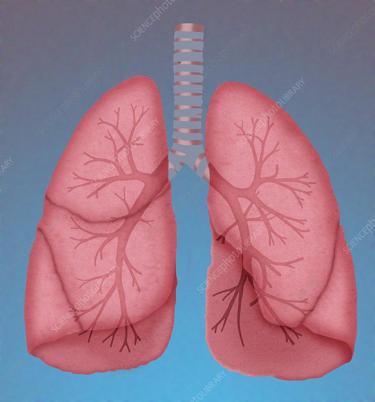 human anatomy & physiology laboratory manual answer key