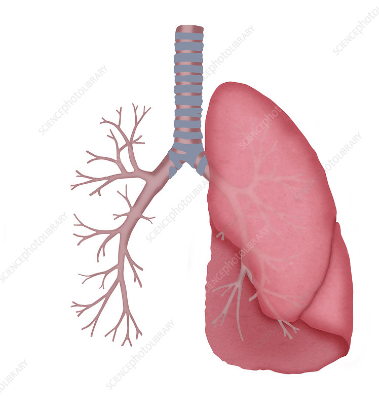 Lung and bronchial tubes, illustration
