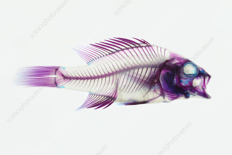 Stained Rockbass Fish