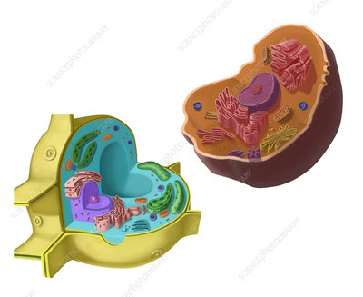 Animal and Plant Cells, illustration