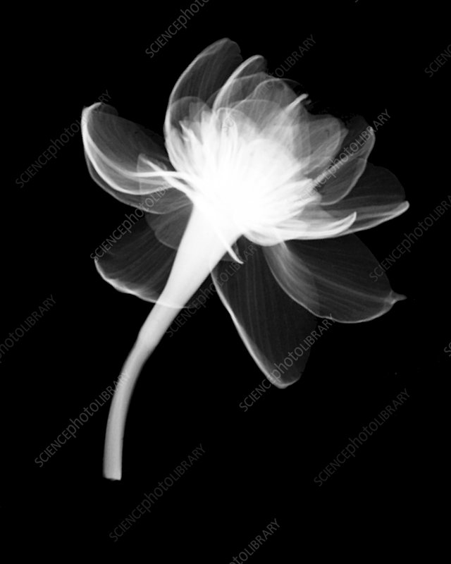 Narcissus Blossom X-ray