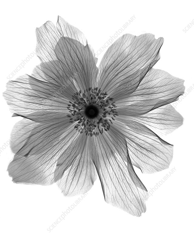 Ranunculus Flower X-ray