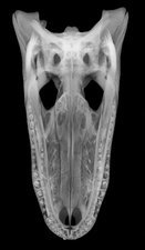 X-ray of American Alligator