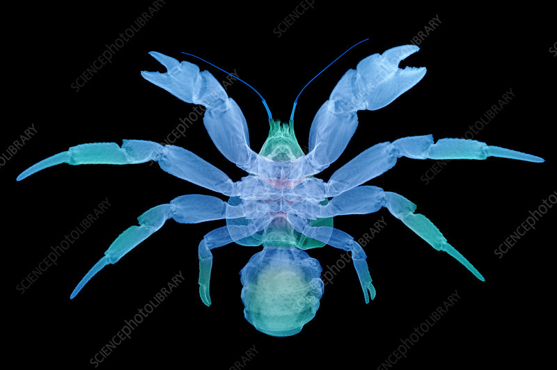 X-Ray of Coconut Crab