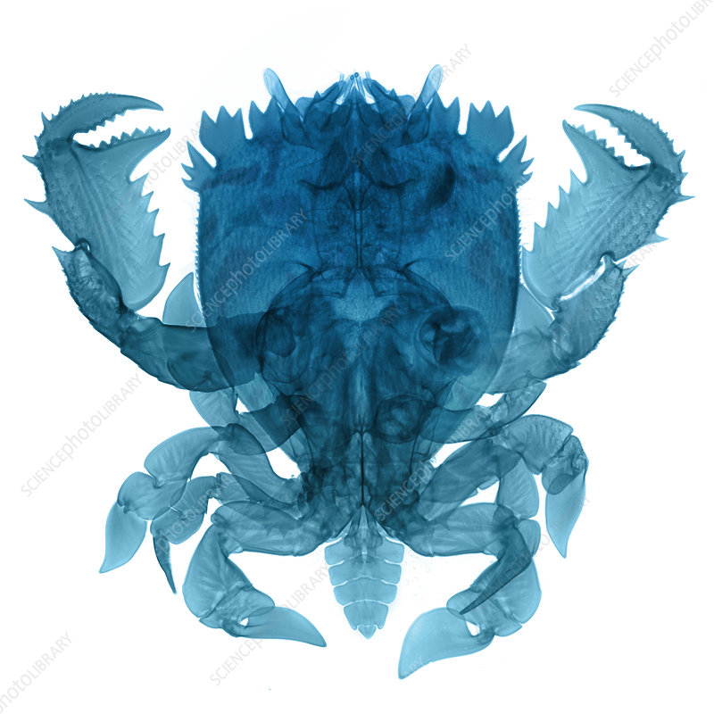 X-ray of Deep Water Crab